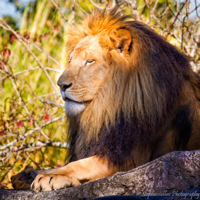 Lion_on_rocks_sleeping_busch_gardens
