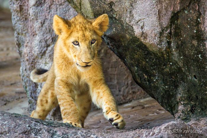 baby_lion_busch_gardens_tampa