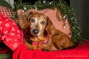 bown_dachshund_red_blanket